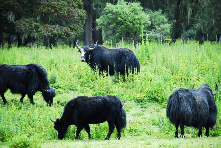 聚焦健康赛道,促进消费升级 ——九龙牦牛肉,放心肉